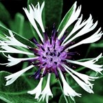 Centaurea 'Amethyst in Snow'
