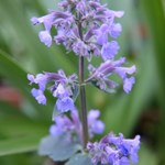 Nepeta gran. 'Summer Magic'