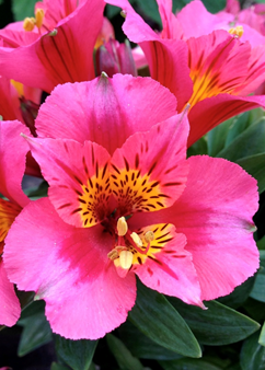 Alstroemeria Little Miss 'Roselind'