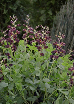 Baptisia Decadence 'Dutch Chocolate'