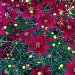 Coreopsis 'Red Satin'