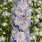 Delphinium Highlander 'Moonlight'