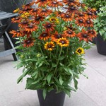 Rudbeckia Summerina 'Orange'