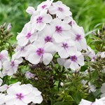 Phlox Famous 'White Eye'