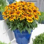 Rudbeckia Summerina 'Butterscotch Biscuit'