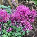 Thalictrum 'Little Pinkie'