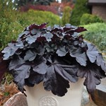 Heuchera 'Black Pearl'