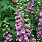 Digitalis 'Lucas'