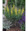 Baptisia Decadence 'Lemon Meringue'