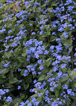 Brunnera macr. 'Jack of Diamonds'