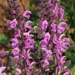 Salvia Fashionista 'Pretty in Pink'