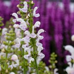 Salvia Color Spires 'Snow Kiss'