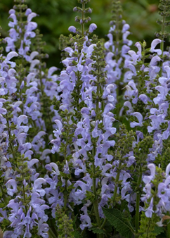 Salvia Fashionista 'Vanity Fair'