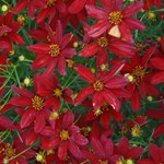 Coreopsis 'Sizzle & Spice Hot Paprika'
