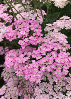 Achillea Tutti Frutti 'Wonderful Wampee'