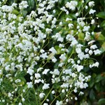 Thalictrum 'Splendide White'