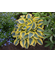 Hosta 'Shadowland ™ Autumn Frost'
