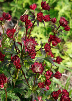 Astrantia 'Moulin Rouge'