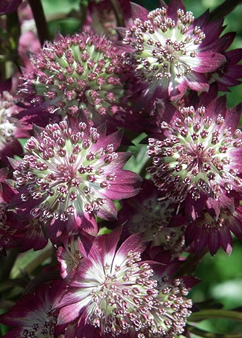 Astrantia 'Star of Beauty'