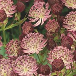 Astrantia 'Star of Passion'