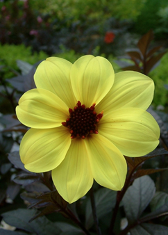 Dahlia Mystic 'Illusion'