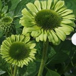 Echinacea 'Green Jewel'