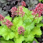 Heuchera 'Little Cuties Sweet Tart'
